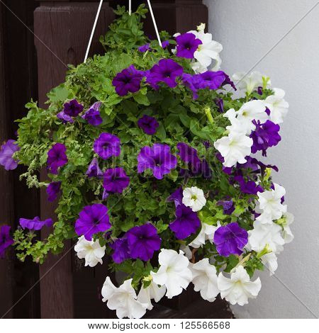 White and purple petunia flowers in hanging pot. Growing hanging petunias close up