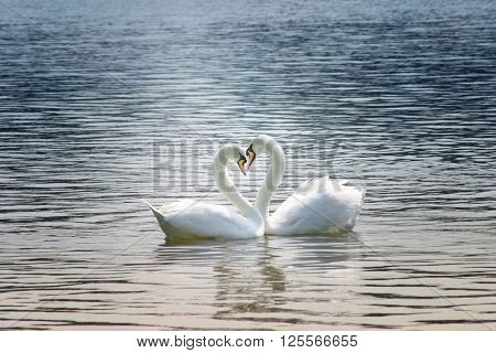 The couple of swans with their necks form a heart.