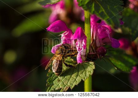 Spring blossom fresh pink flowers on the branch of fruit tree with bee