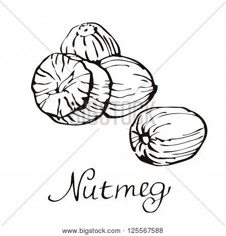 Kitchen spices. Nutmeg. Vector illustration of Eco food