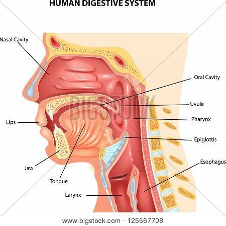 Vector illustration of Human Digestive System on white background