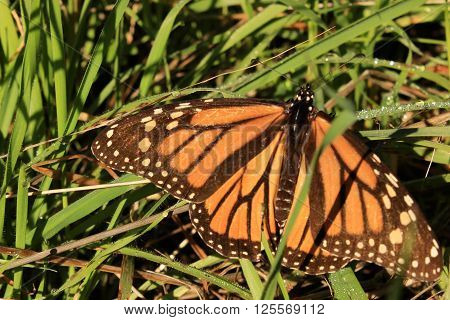 A Monarch butterfly rests in dewy grass.