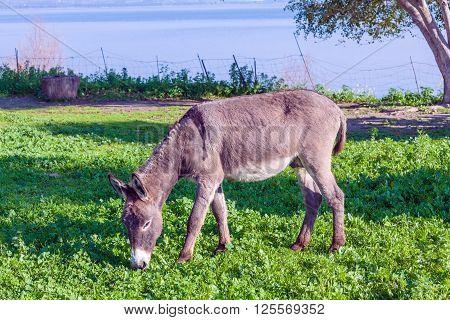 Cute Donkey Eating Green Grass near lake