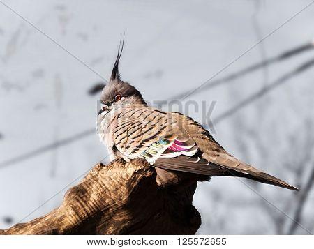 Portrait of australian Crested pigeon - Ocyphaps lophotes