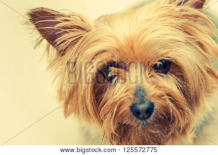 Australian Silky Terrier Dog Closeup Portrait. Middle Age Silky Terrier.