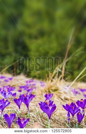 Blooming Crocus Vertical Copy Space Background. Flowering Crocuses in Spring Time