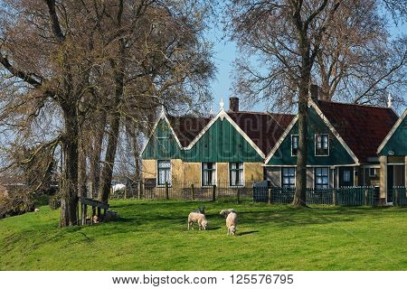 ENKHUIZEN, NORTH HOLLAND/ The Netherlands - APRIL 10, 2016: Dutch houses and grazing sheep in front of them in the first days after the opening of the season 2016