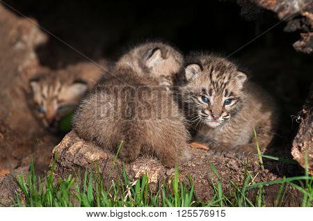 Baby Bobcat Kits (Lynx rufus) Huddle in Log - captive animals