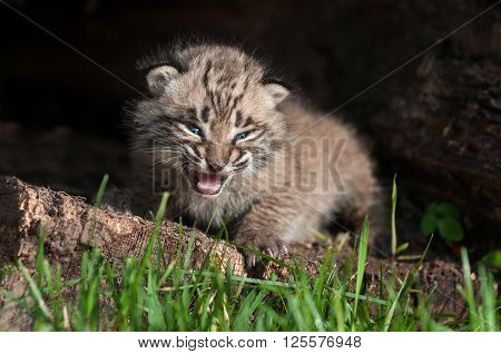 Baby Bobcat Kit (Lynx rufus) Cries Inside Log - captive animal