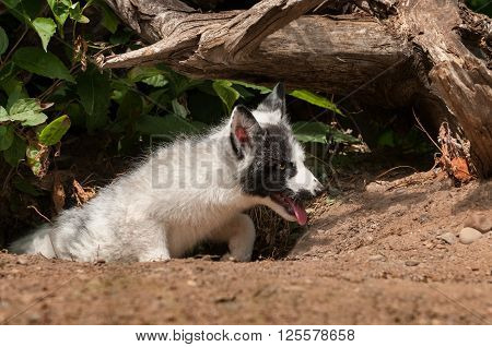 Young Marble Fox (Vulpes vulpes) Climbs Out of Den - captive animal