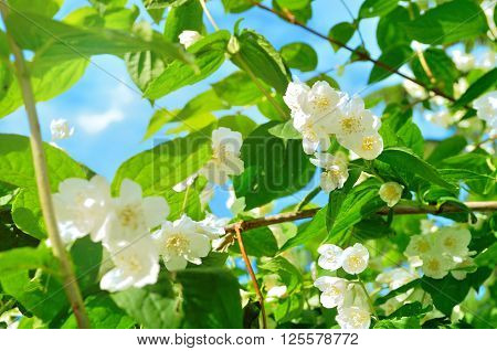 White blossoming jasmin flowers in the garden - summer natural landscape. Soft focus applied