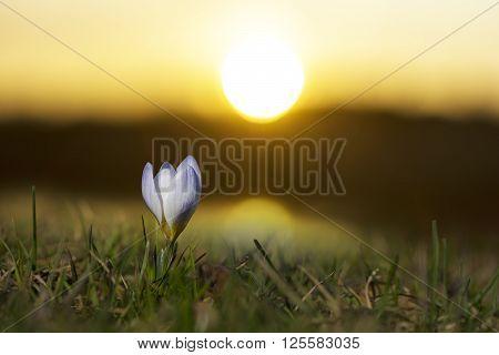 single purple crocus in grass at dawn or dusk