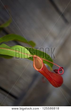 Close up of carnivorous plant in a greenhouse