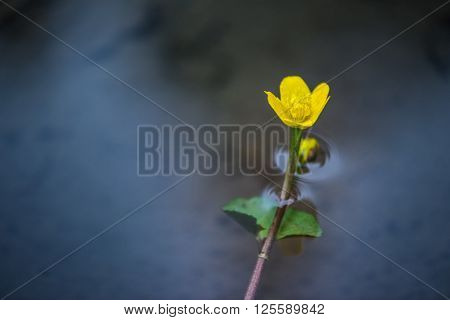 single yellow crowfoot flower growing out of water