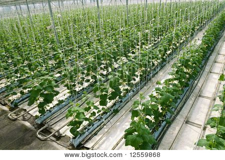 Hydroponic cultivation of cucumbers in greenhouse