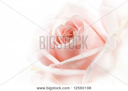 Beautiful Soft Rose Close-up