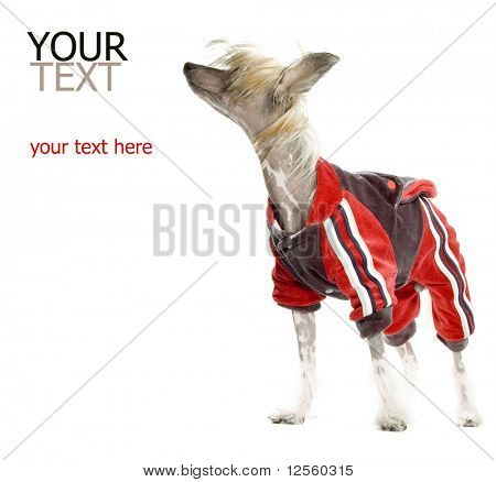 Chinese Crested Dog (hairless dog) in tracksuit