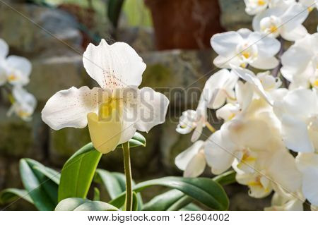 Picture of a spike of white orchids