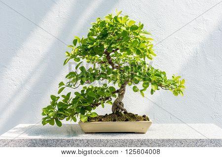 Euonymus Fortunei Bonsai