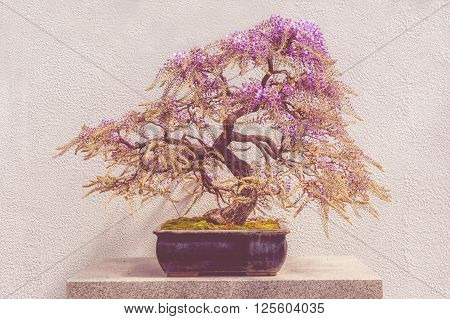 Blooming Japanese Wisteria Bonsai