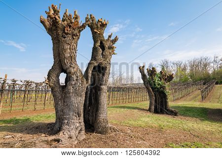 Old gnarled and twisted mulberry trees after pruning.