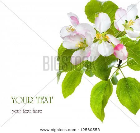 Apple Blossom closeup.Studio isolated