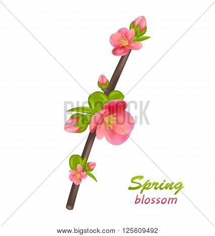 Illustration Branch of Japanese Quince Chaenomeles japonica in Bloom, Isolated on White Background. Spring Blossom - Vector