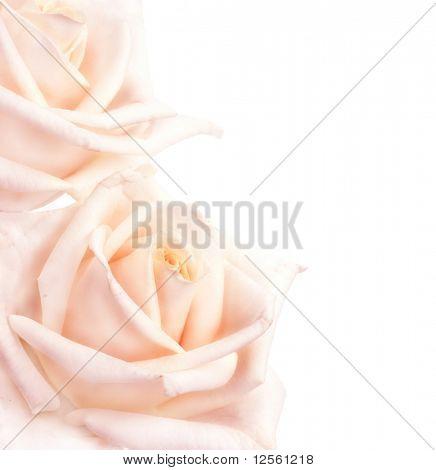 Soft Roses Border