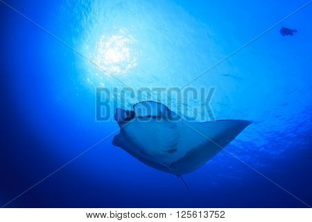 Manta Ray with scuba divers in background