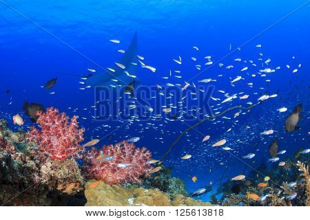 Manta Ray and coral reef in ocean