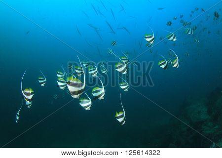 Bannerfish in ocean