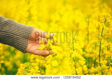 Male hand touching gentle blooming rapeseed crops man agronomist walking through the field of blossoming cultivated oilseed rape plantation concept of responsible growth and crop protection.
