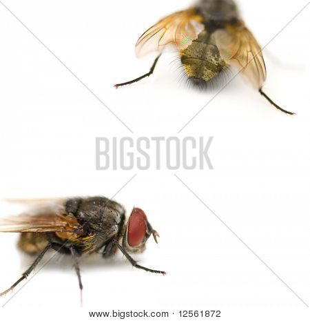 Very Detailed Fly