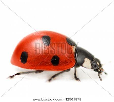 Supermacro of Ladybug.Studio isolated