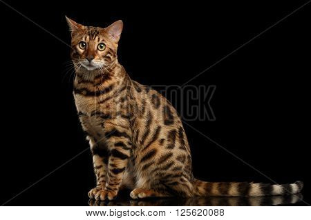 Bengal Male Cat Sitting on Black Isolated Background and Funny Looking in Camera Side view