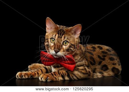 Bengal Male Cat with bow tie Lying on Black Isolated Background