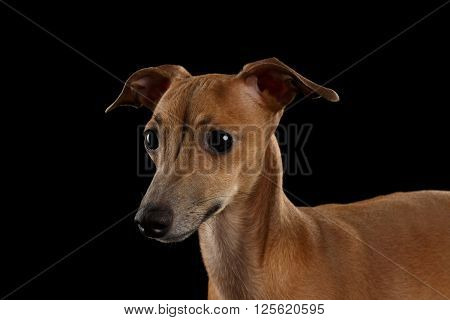 Closeup Portrait of Cute Italian Greyhound Dog Looking forward isolated on Black background Front view