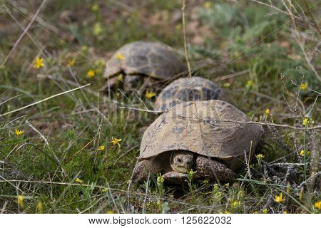 Three Turtles In The Grass In Spring