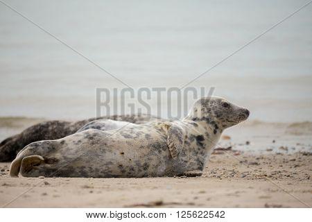 Young Baby Atlantic Grey Seal