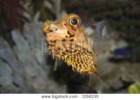 Tropical Fish Hedgehog Diodon Hystrix