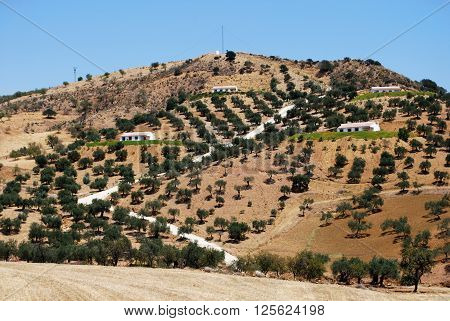 Olive trees and residential fincas on hillside between Antequera and Alora Malaga Province Andalucia Spain Western Europe.