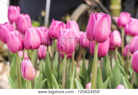 Pink Tulip Beautiful bouquet of tulips colorful tulips Pink tulips in spring with soft focus