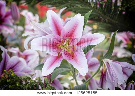 Beautiful pink lily in garden Zephyranthes flower. Common names for species in this genus include fairy lily rainflower zephyr lily magic lily Atamasco lily and rain lily