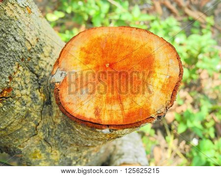 Stump were cut out from the big tree are must be make in the blocks.