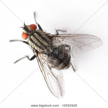 House Fly isolated on white