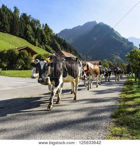 Cows on the annual transhumance at Charmey near Gruyeres Fribourg zone on the Swiss alps