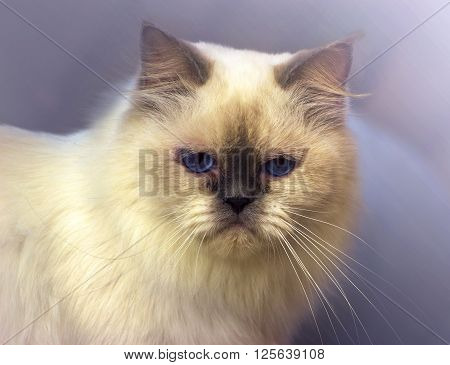 cute beautiful white persian cat in purple backround