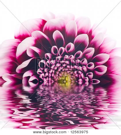 Beautiful Dahlia with reflection