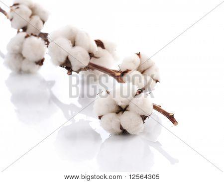 Baumwolle weiß
