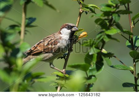 A male House Sparrow (Passer domesticus) perched on a branch